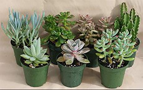 отглеждане на Сукуленти - сочни растения