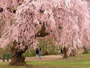 Цъфтящи декоративни вишни