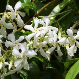 Уувивни растения – Жасмин