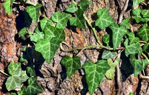 Красиви катерливи и увивни растения – Бръшлян