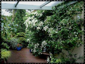 Красиви увивни растения – Катерлива хортензия