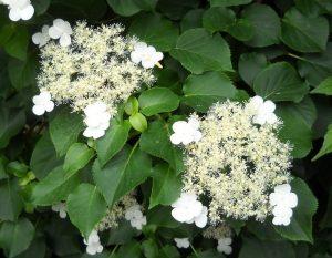 Красиви растения – Катерлива хортензия