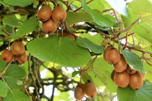 Красиви катерливи и увивни растения – Хибридното киви
