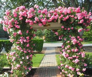 Рози за вертикално озеленяване