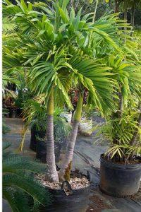 Избиране на палма за дома
