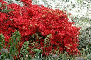 Oтглеждане на рододендрони и азалии в градината