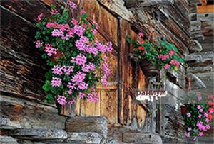 сакъзчето, водопад от цветове