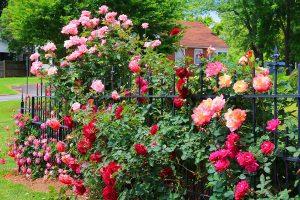 Розата е царица на цветята