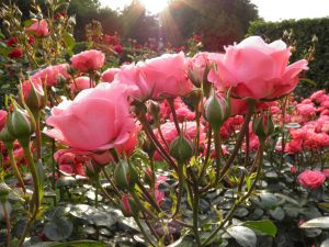 Кът с рози в градината