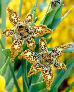 Тигридия - със своите ярки и екзотични багри, напомня на орхидея