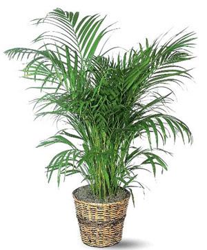 Кокосова палма арека