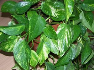 Стайни растения, бръшлян