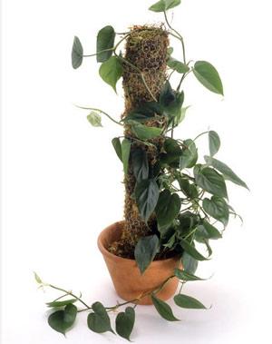 Филодендрон със сърцевидни листа