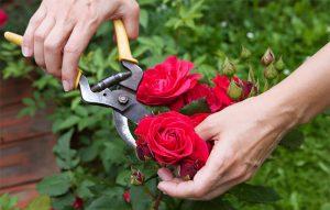 Летни грижи за розите
