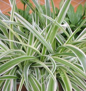 Стайни растения хлорофитум