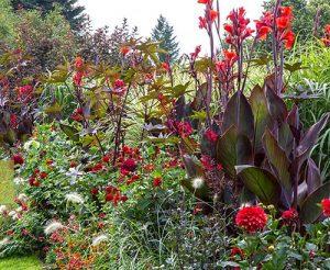Червена канна в градина