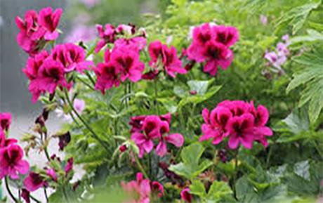 издръжливи цветя градината - мушкато