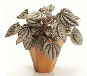 стайни растения пеперомия