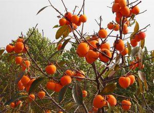 Райска ябълка дърво