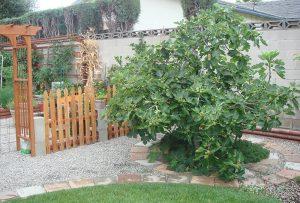 Смокиня - дърво, което няма цвят