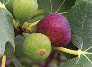 Клонка смокини
