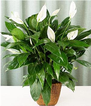 Стайни растения, бял спатифилум