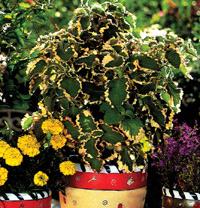Цветята виладжии, циганче