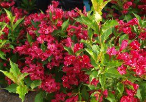 Вайгела Floribunda в градина