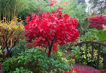 Японски клен в японска градина