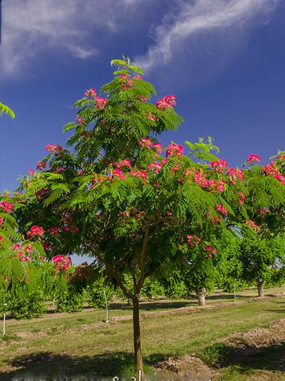 Албиция дърво в градината