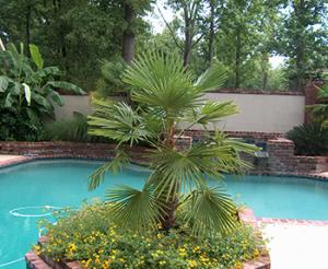 китайска конопена палма до басейн