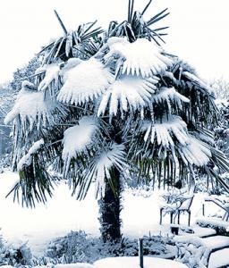 Палма Трахикарпус със сняг