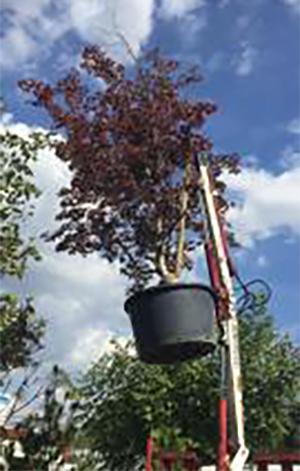 Едроразмерни дървета - Еколес