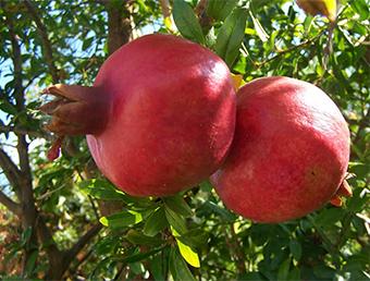 Плодовете на нара са вкусни и много полезни