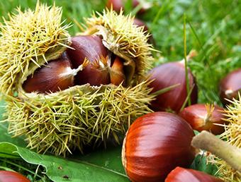 плодове на сладкият кестен