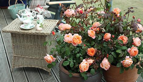 5 съвета за отглеждане на рози в саксии