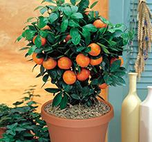 Цитрусови растения