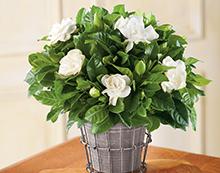 Гардения (Gardenia sp.)