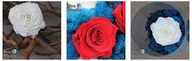 Вечни рози за подарък