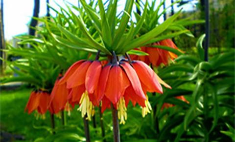 растения прогонват къртици - Фритилария