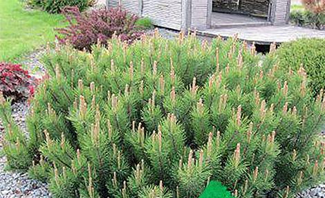 Иглолистна горичка в градината, клек